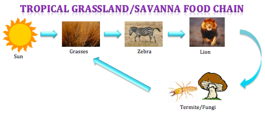 Food Chain and Web - Tropical Grassland/ Savanna